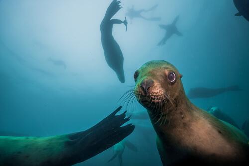 León marino: características comportamiento y hábitat