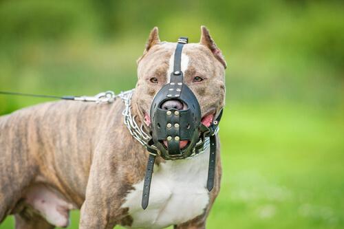 Perro potencialmente peligroso: pitbull