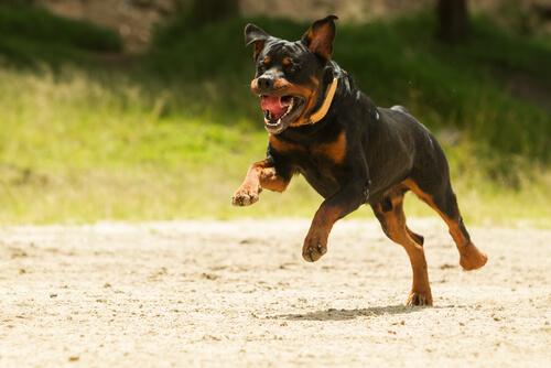 El adiestramiento profesional de perros rottweiler