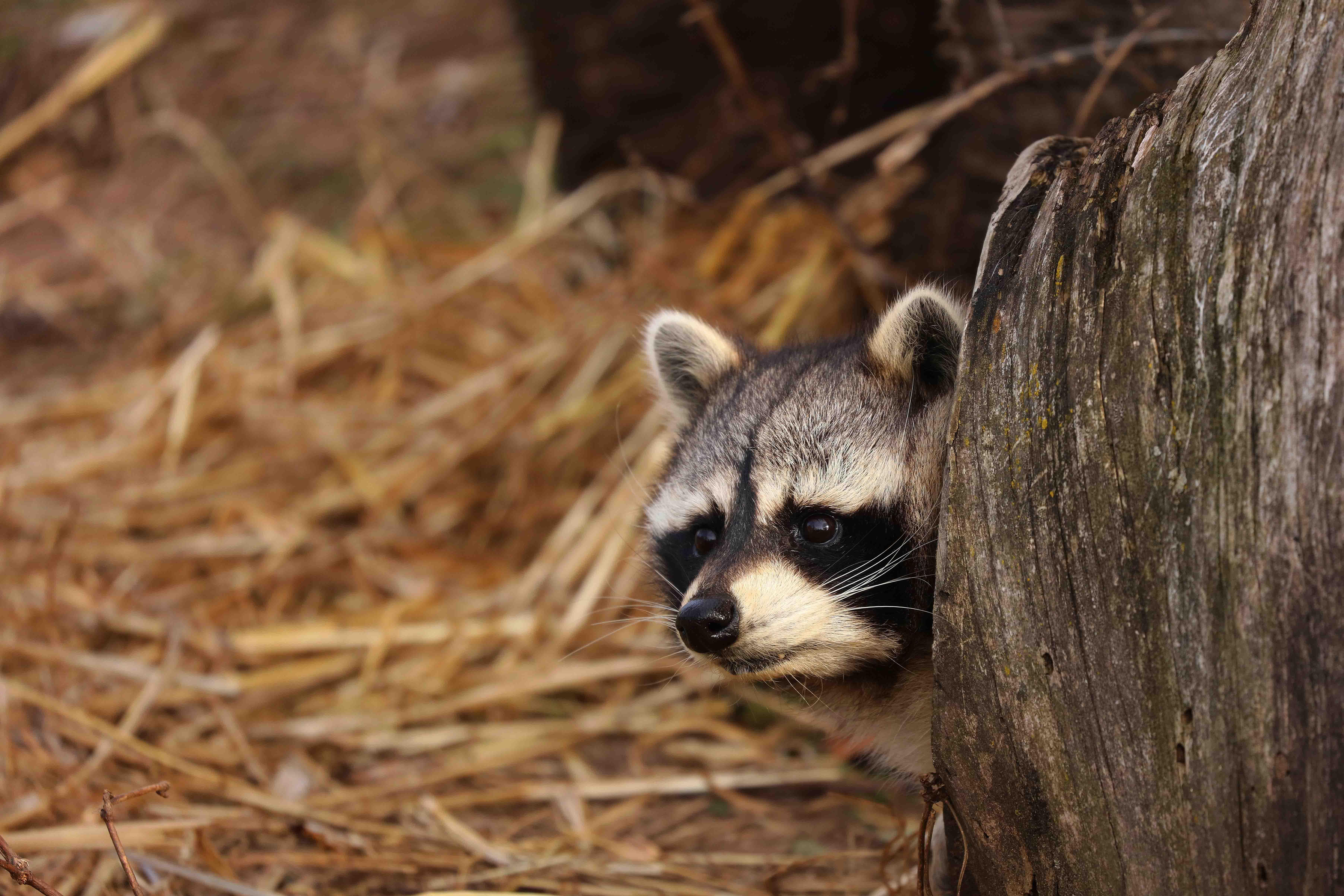 Mapache: características, comportamiento y hábitat