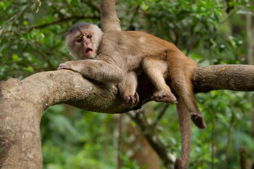 Mono capuchino en una rama