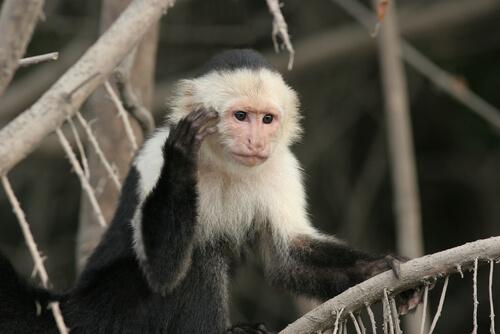 Mono capuchino: características, comportamiento y hábitat