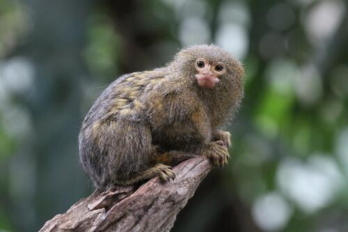 Mono tití: características, comportamiento y hábitat