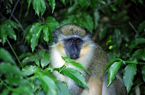 Mono verde, comunicación animal