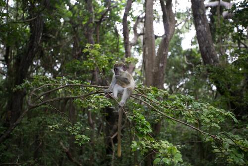 Mono verde, comunicación y comportamiento
