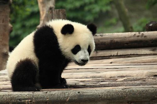 El oso panda en China, símbolo de cultura y tradición