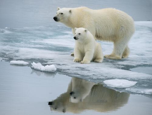 Oso polar con su cria