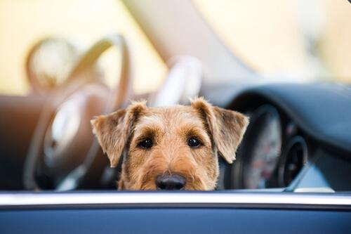 Perro en el asiento del copiloto