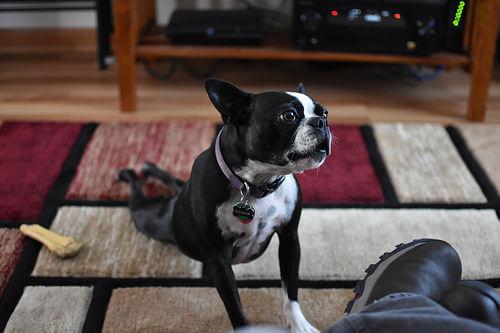 Perros que pueden hacer yoga