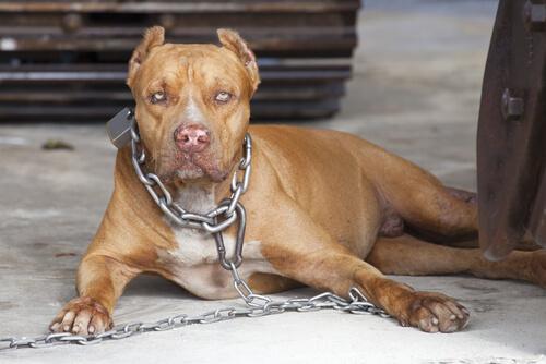 Perros violentos: ¿instinto o educación? Maltrato.