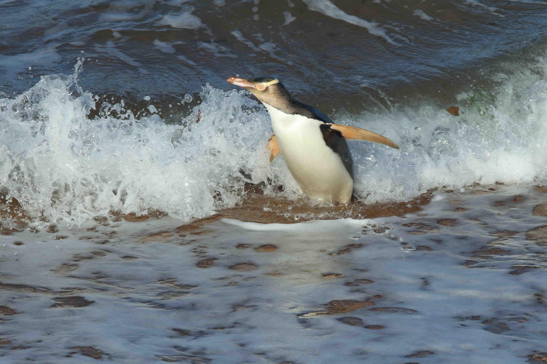 Pingüino ojo amarillo pesca