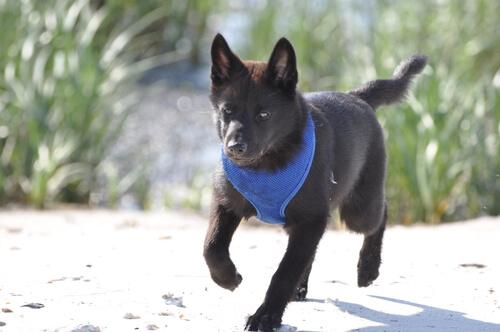 Raza de perro kai: características