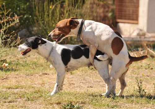 Satiriasis canina: síntomas