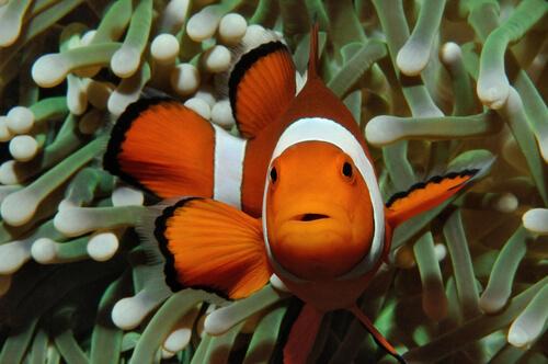 ¿Por qué el pez payaso es naranja?