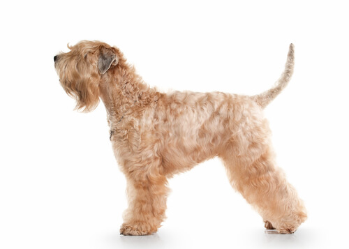 Soft coated wheaten terrier: apariencia