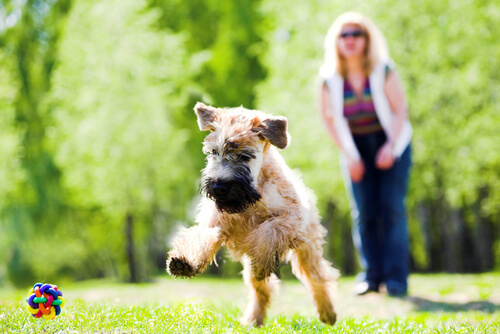 Soft coated wheaten terrier: comportamiento