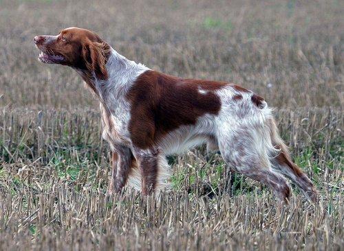 Perro breton en el campo