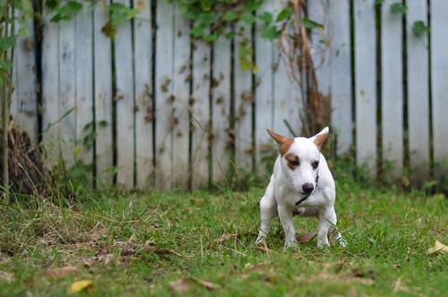 La giardiasis en los perros