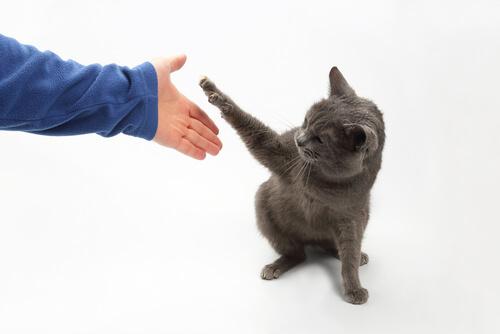Trucos para gatos: dar la pata
