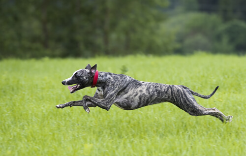 Whippet: comportamiento