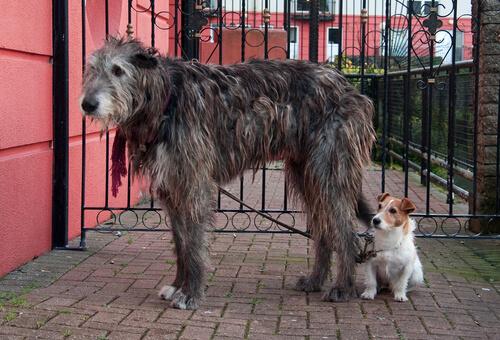 Wolfhound irlandés o lobero irlandés