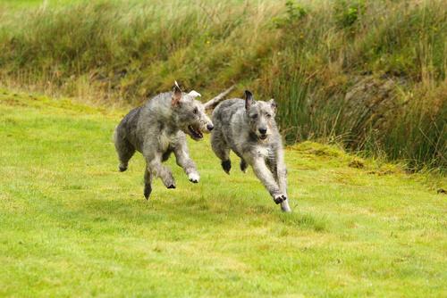 Wolfhound irlandés o lobero irlandés: compotamiento