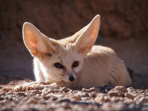 Zorro del desierto o fénec: comportamiento