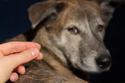 Acupuntura veterinaria: enfermedad