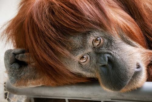 Animales con más inteligencia emocional: chimpancé