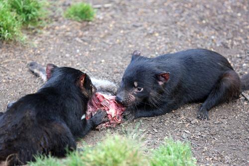 Animales necrófagos o carroñeros: demonio de Tasmania