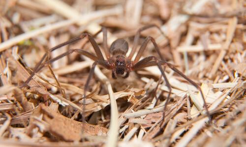 Araña violinista: hábitat