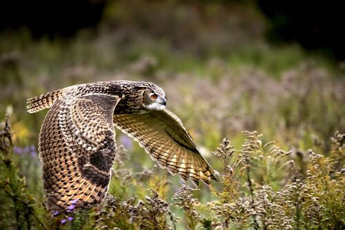 Búho real: características, comportamiento y hábitat