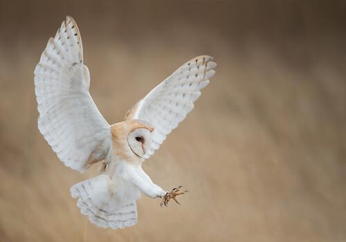 Comportamiento de la lechuza común, una especie de ave rapaz