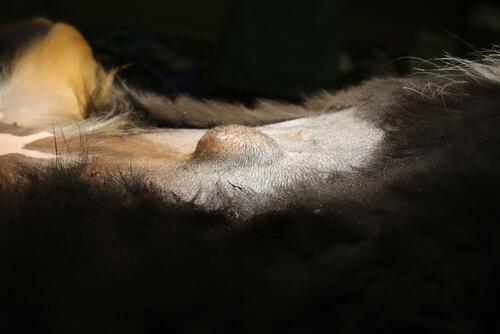 Bulto hernia perro