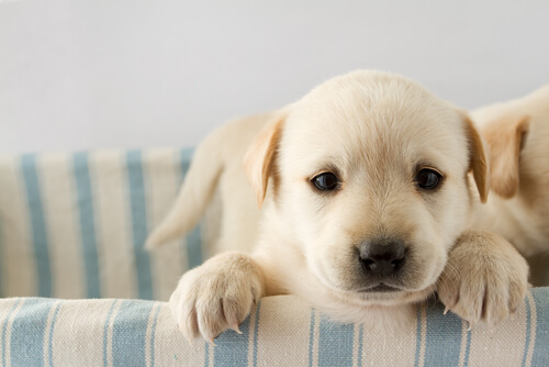 Un cachorro para salir a la calle necesita una vacuna