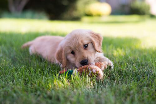 ¿Cuál es la edad ideal para adoptar un cachorro?