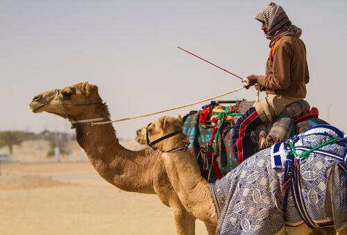 Camello de Arabia: comportamiento