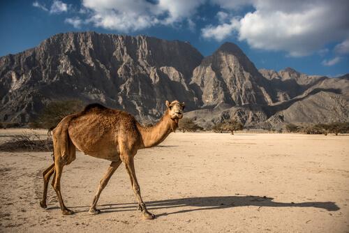 Camello de Arabia: hábitat