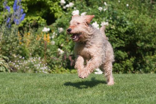 Carácter del otterhound o perro de nutria
