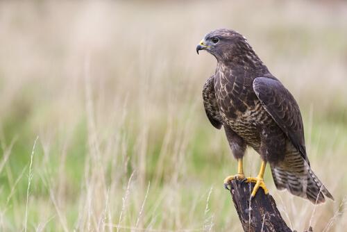 Características y cuidados del halcón como mascota y su alimentación