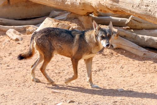 Características del lobo árabe y comportamiento