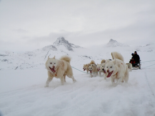 Características del perro de Groenlandia: carácter