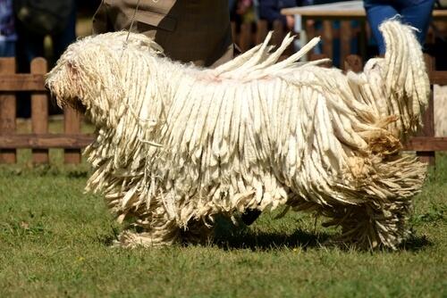 Características de la raza de perro komondor: comportamiento