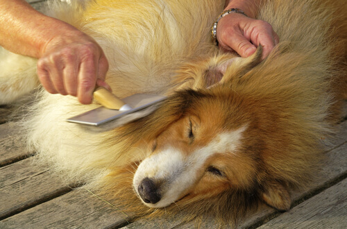 Caspa en perros: piel seca