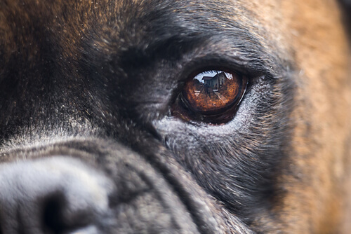La dilatación de las pupilas en perros
