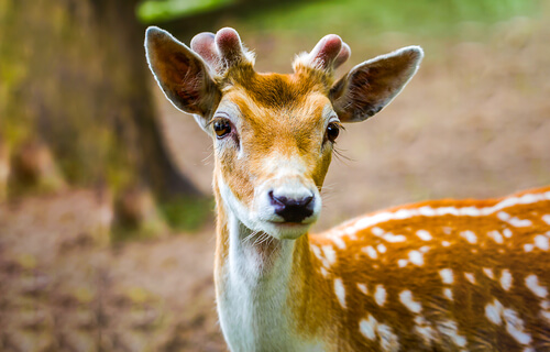 8 subespecies de ciervo