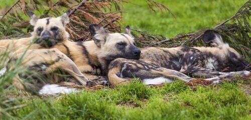 Comportamiento del perro salvaje africano