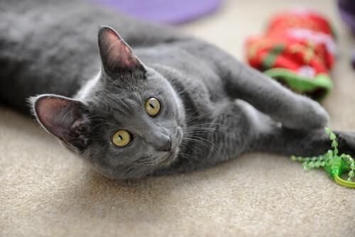 Comportamiento raza gato Korat