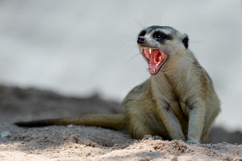 Comportamiento de la suricata como mascota