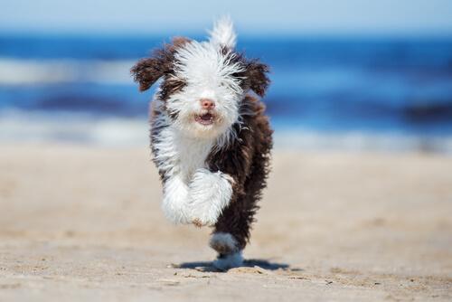 Consejos Para Peinar A Un Perro De Agua Mis Animales